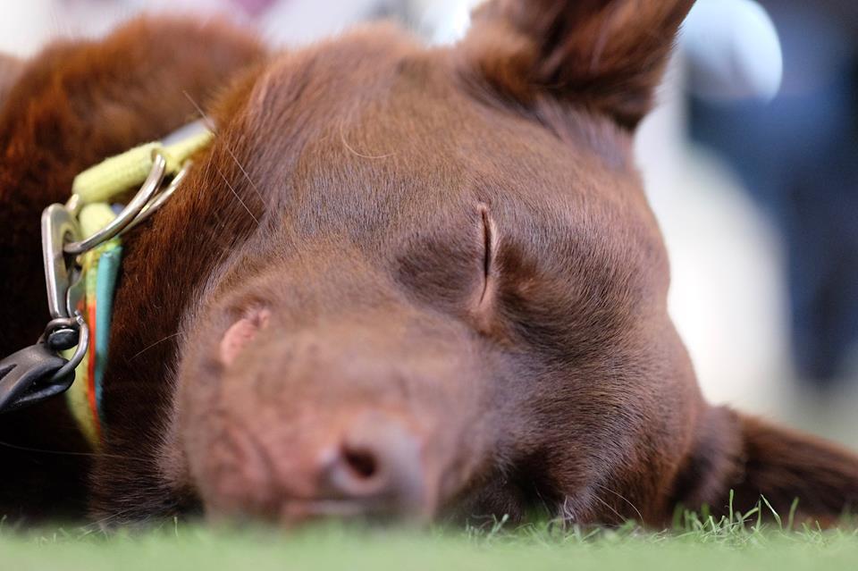 Att sova på saken är något som man kan uppleva att många hundar gör, ibland går det inte alls som man tänkt sig och man plockar bort momenten för en stund. När det är dags igen är det som om att hunden tränat i smyg utan ens vetskap.