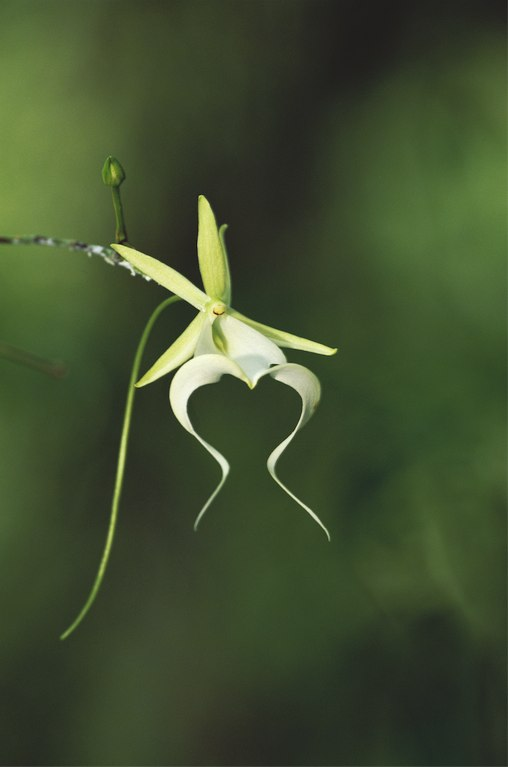 """Ghost Orchid"" ©Connie Bransilver 2010"
