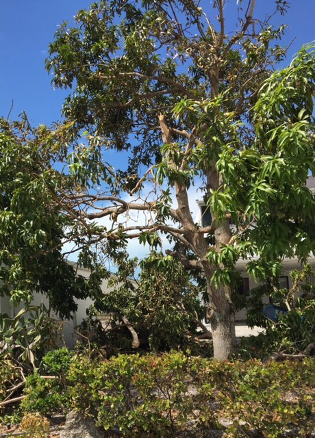 My mangled mango tree