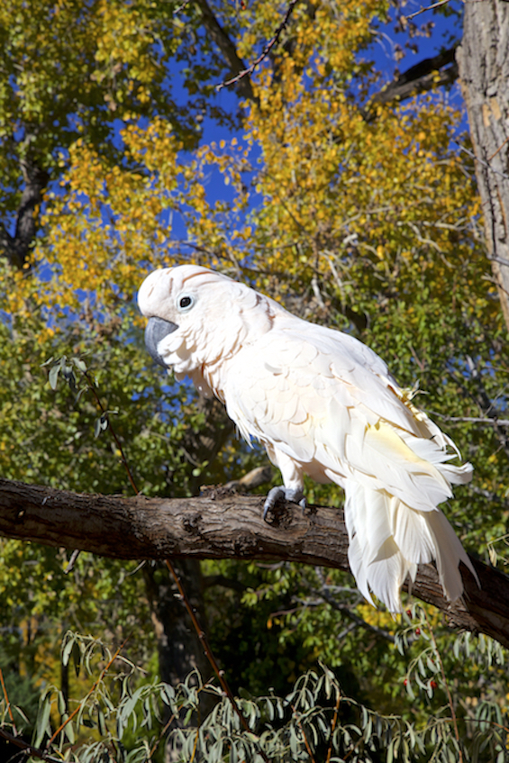 Buddy Cockatoo enjoying one of the last warm days in his favorite cottonwood. ©Connie Bransilver