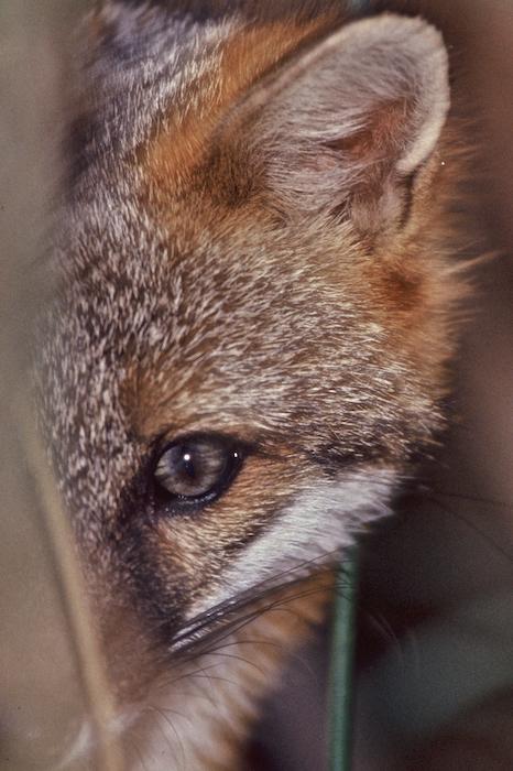 "Peeking Fox, 16""x30"" Gloss on Aluminum ©Connie Bransilver"