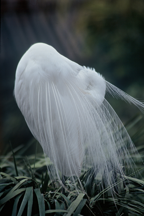 """Preening Egret, 54""""x40"""" ©Connie Bransilver"""