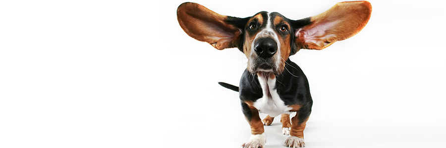 stock-photo-a-basset-hound-with-his-ears-flying-away-14755405.jpg