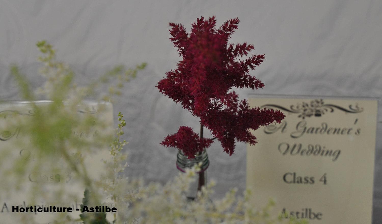 22Horticulture - Astilbe cr.jpg