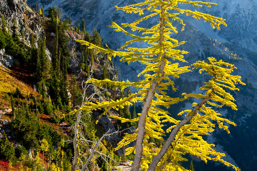 Larch Trees in autumn, Glacier Peak Wilderness Area, Washington, United States