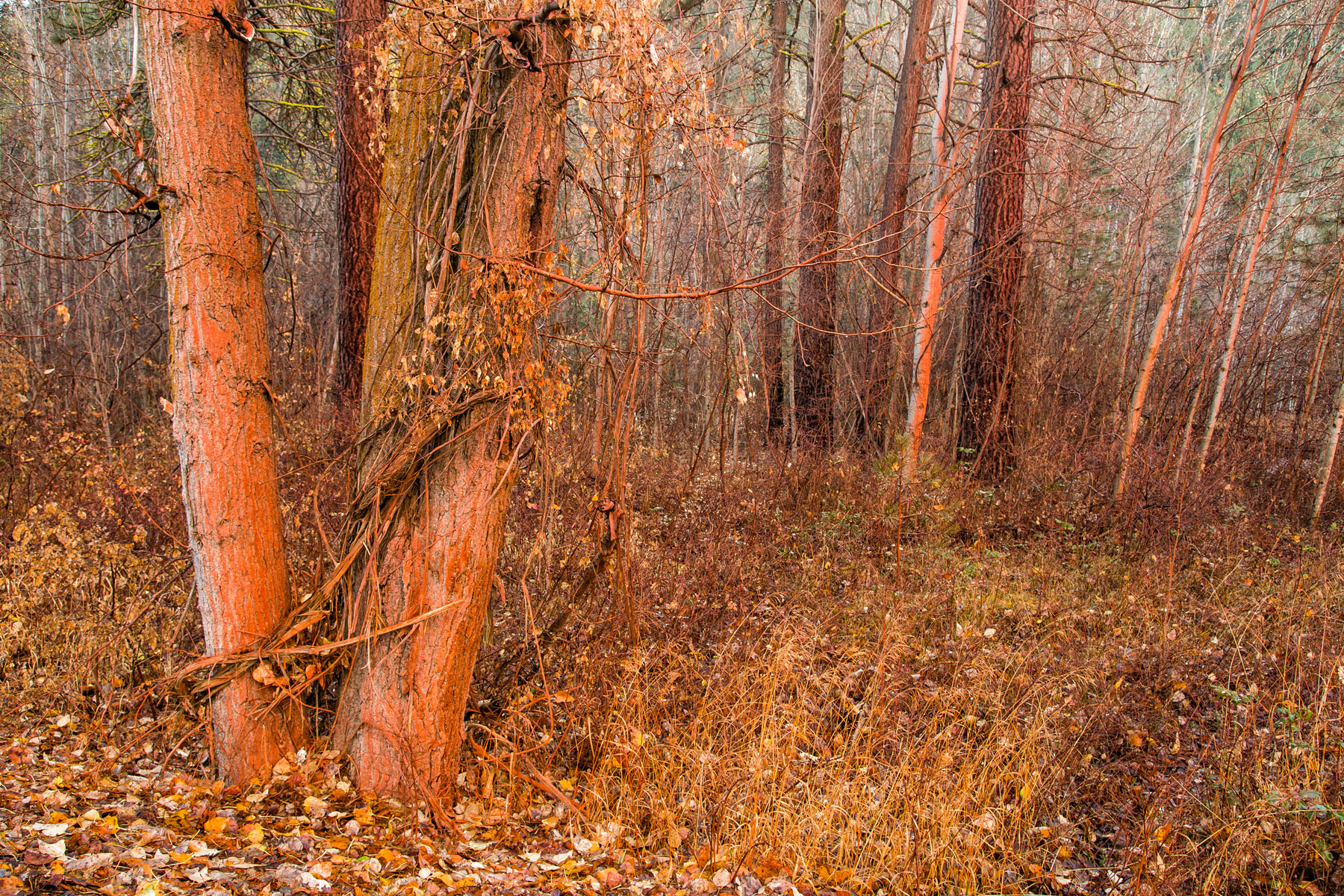 Conservation: Flame retardant dropped from firefighting planes still covers trees after a fire near Twisp, Washington