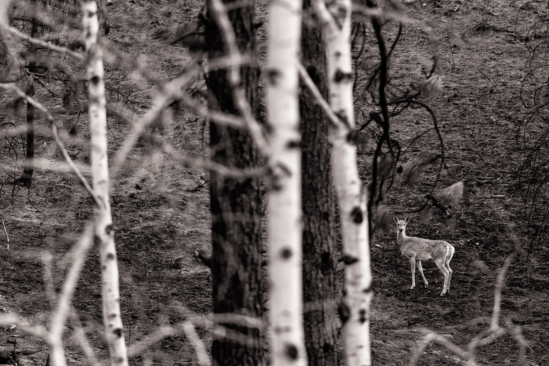 Conservation: A deer in a recently burned forest, Methow Valley, Washington