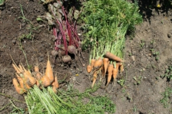 Carrots and Beats (root vegetables, full of nutrition and reliable through the season)