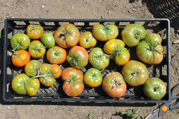 And, of course, tomatoes. Here's a basket of heirloom brandywines ... perfect for summer salads.