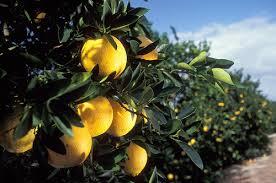 citrus groves.jpg