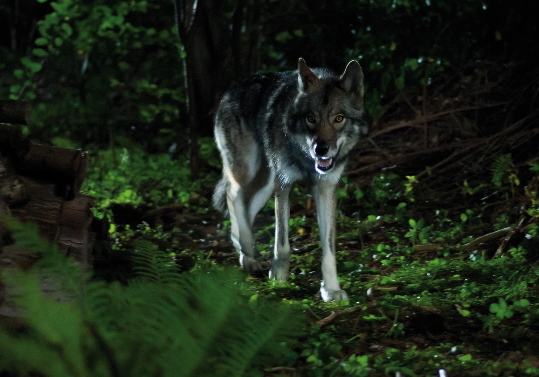 Ein Wolf geht um.