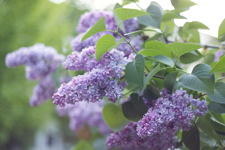 pale-lilacs.jpg