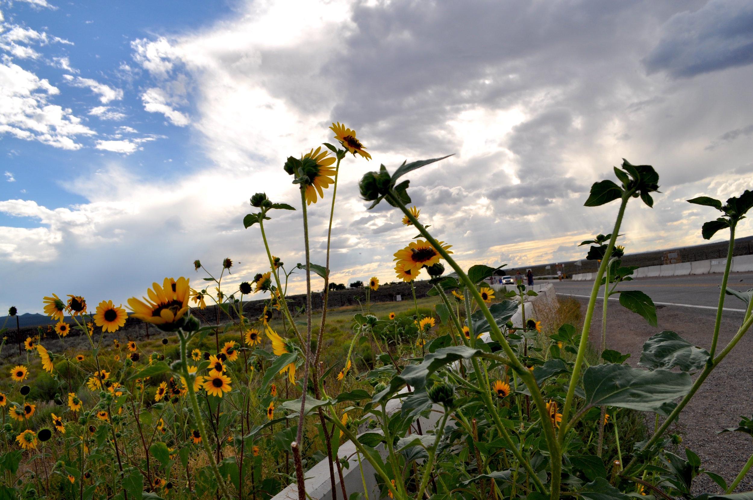 Sunflowers in NM_Shannon Black.jpg