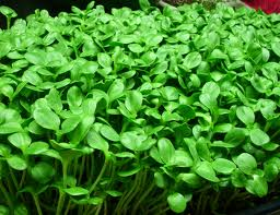 Micro-Greens - We have some micro greens and other greens. available at our Rail Trail Cafe grown by Solid Ground Farm!