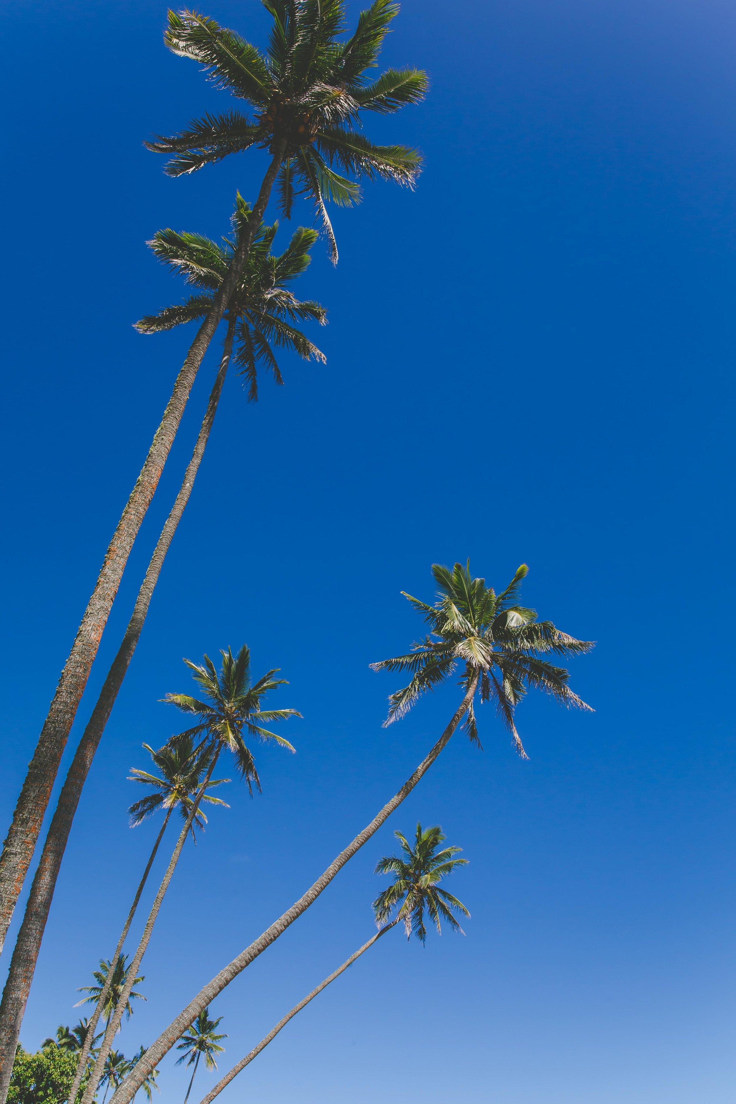 Rarotonga Palm Trees