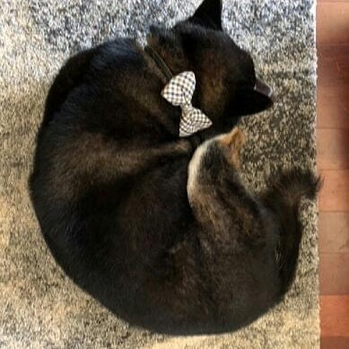 It is cold out, curled up! Thanks to Lisa and Akahi for cute pics!  #doginbowtie #dressydogs #dapperdog #doglovers #dogsofinstagram #dogcollar #dogbowtie #dogfashion #dogtie #petaccessory #petstagram #love #lovecat #lovedog #lovepets #fancycats #catbows #bowtiedogcollar #sfetsy #instapets #insta_dogs #usagiteam #etsy #cutepetsposts #cutepets #cutepet #shiba