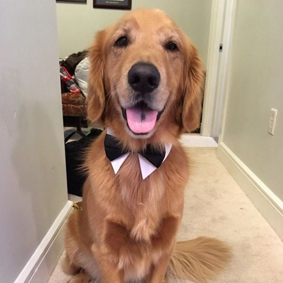#doginbowtie #dressydogs #dapperdog #doglovers #dogsofinstagram #dogcollar #dogbowtie #dogfashion #dogtie #petaccessory #petstagram #love #lovecat #lovedog #lovepets #fancycats #catbows #bowtiedogcollar #sfetsy #instapets #insta_dogs #usagiteam #etsy #cutepetsposts #cutepets #cutepet #retreivers
