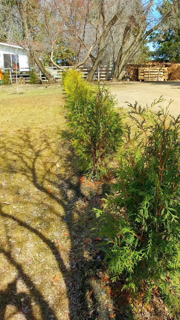 April 2016 Techny Cedar hedge in st. paul, ab