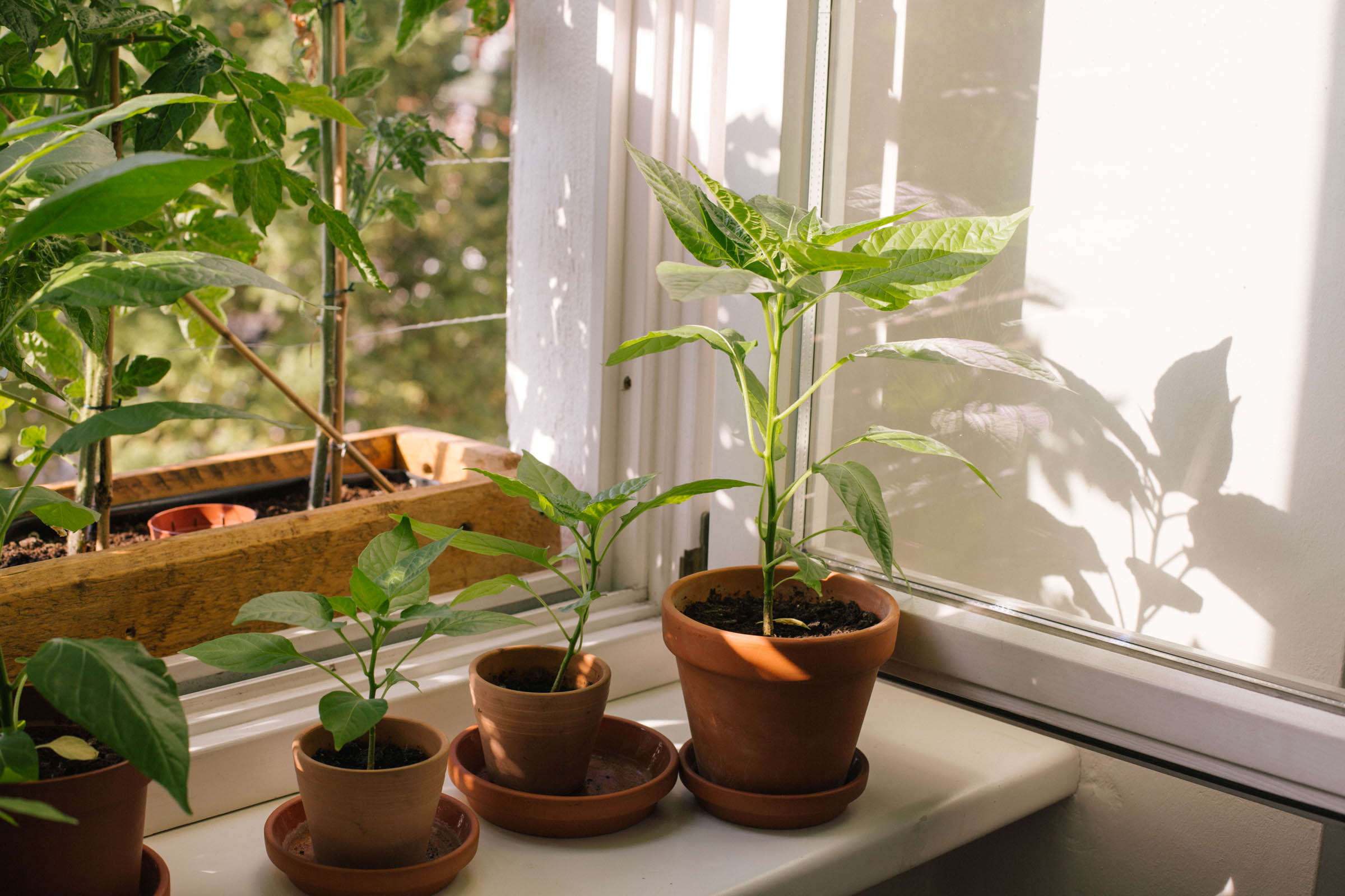 August 2015: The chili plants are slowly progressing.