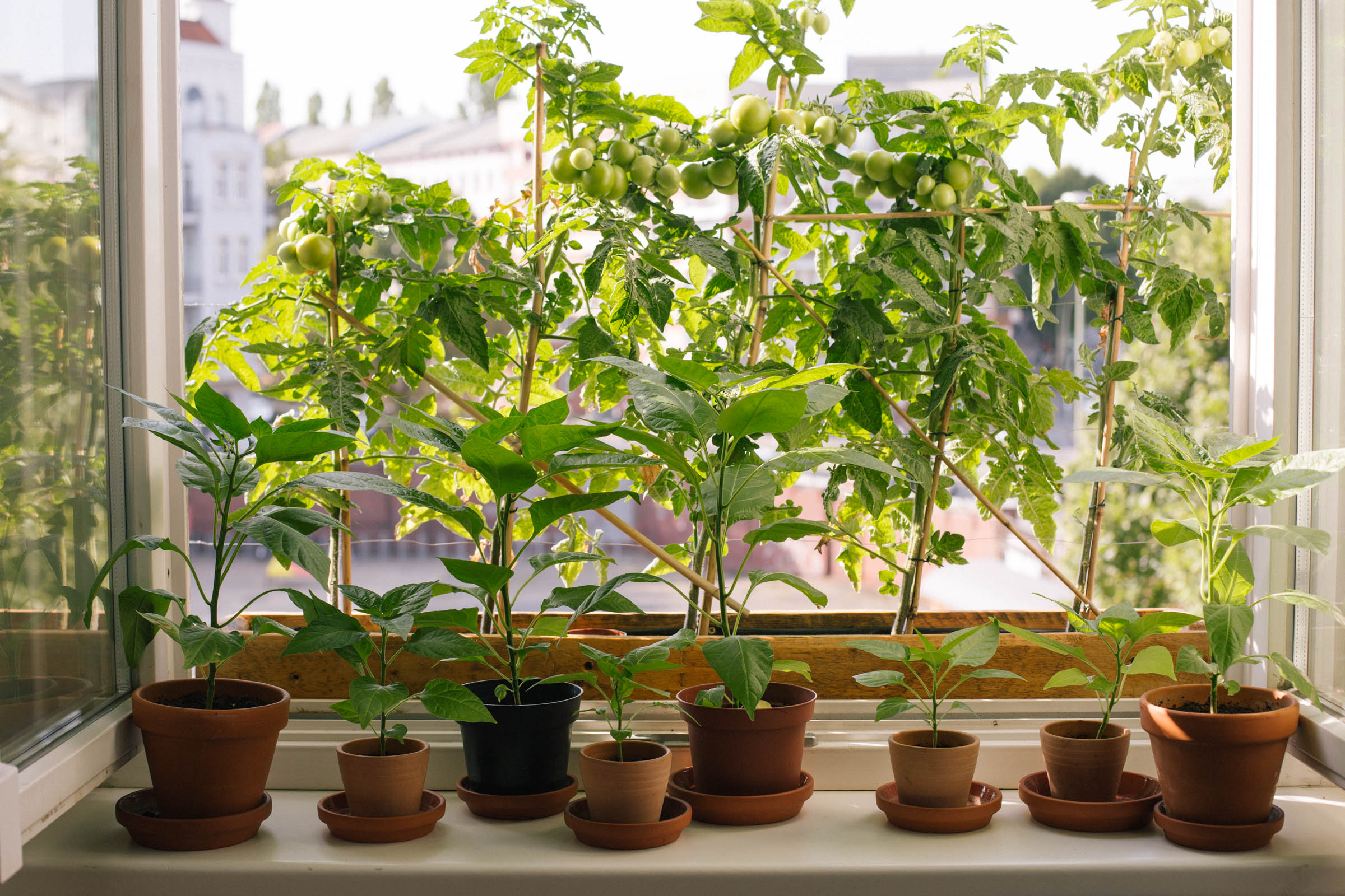 August 2015: The tomatoes in our bedroom window are a-plenty.