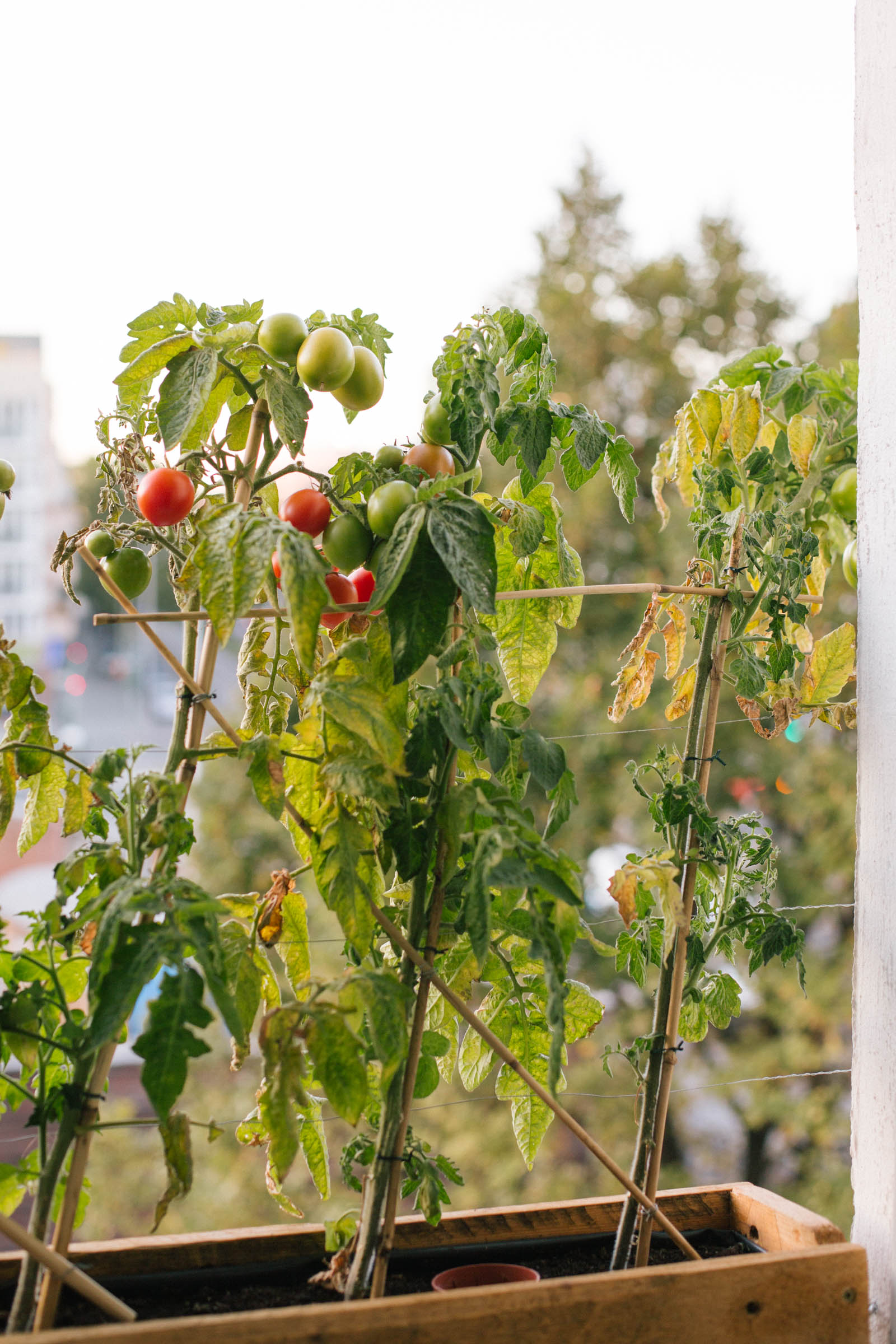 October 2015: The ensuing cold means the tomato leaves are slowly wilting and the fruits don't ripen anymore.