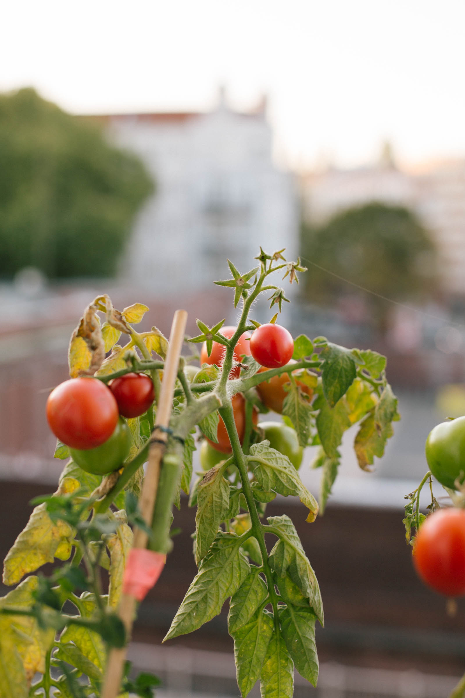 October 2015: The end of the tomato season.
