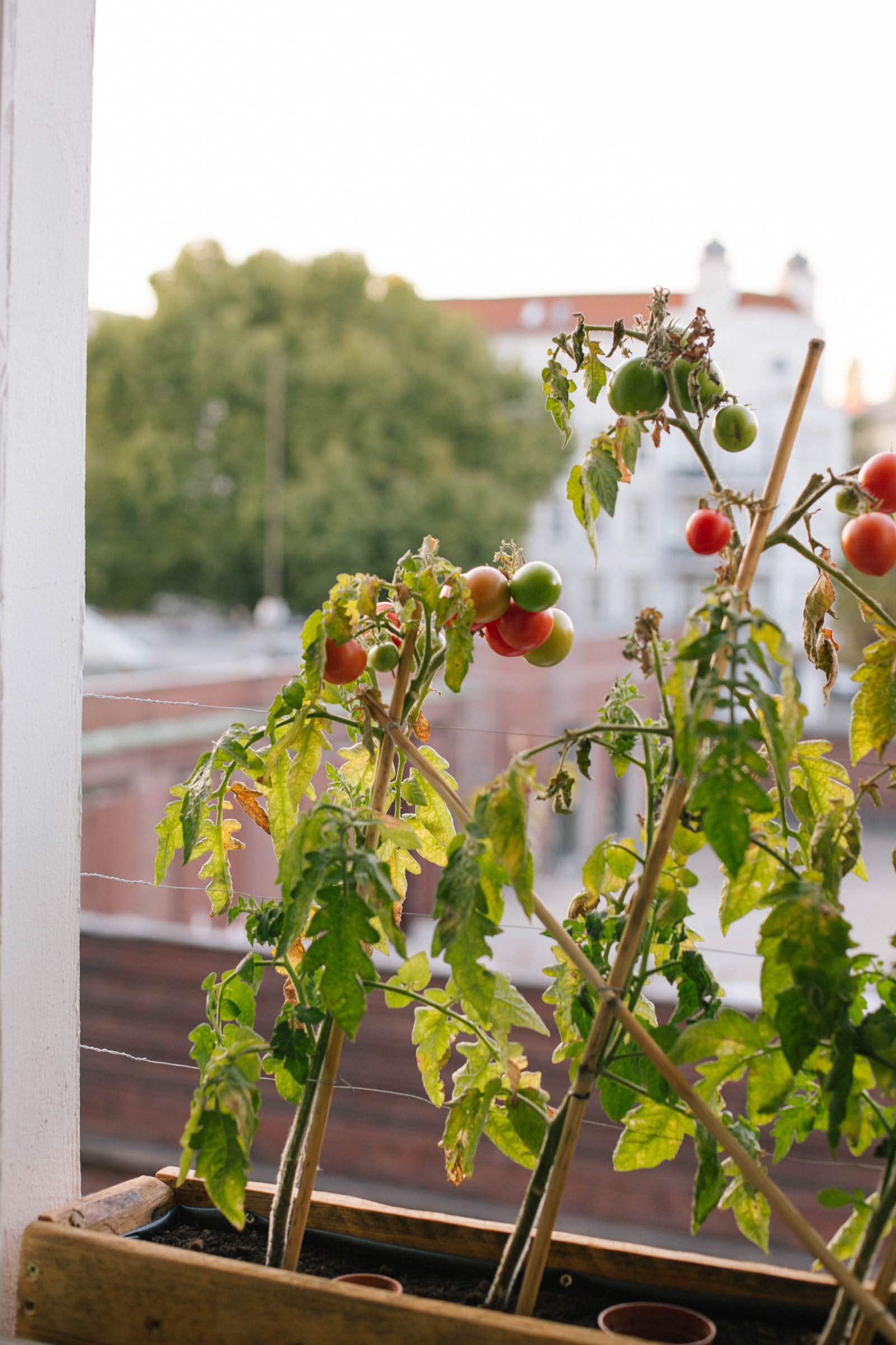 October 2015: The last red tomatoes.