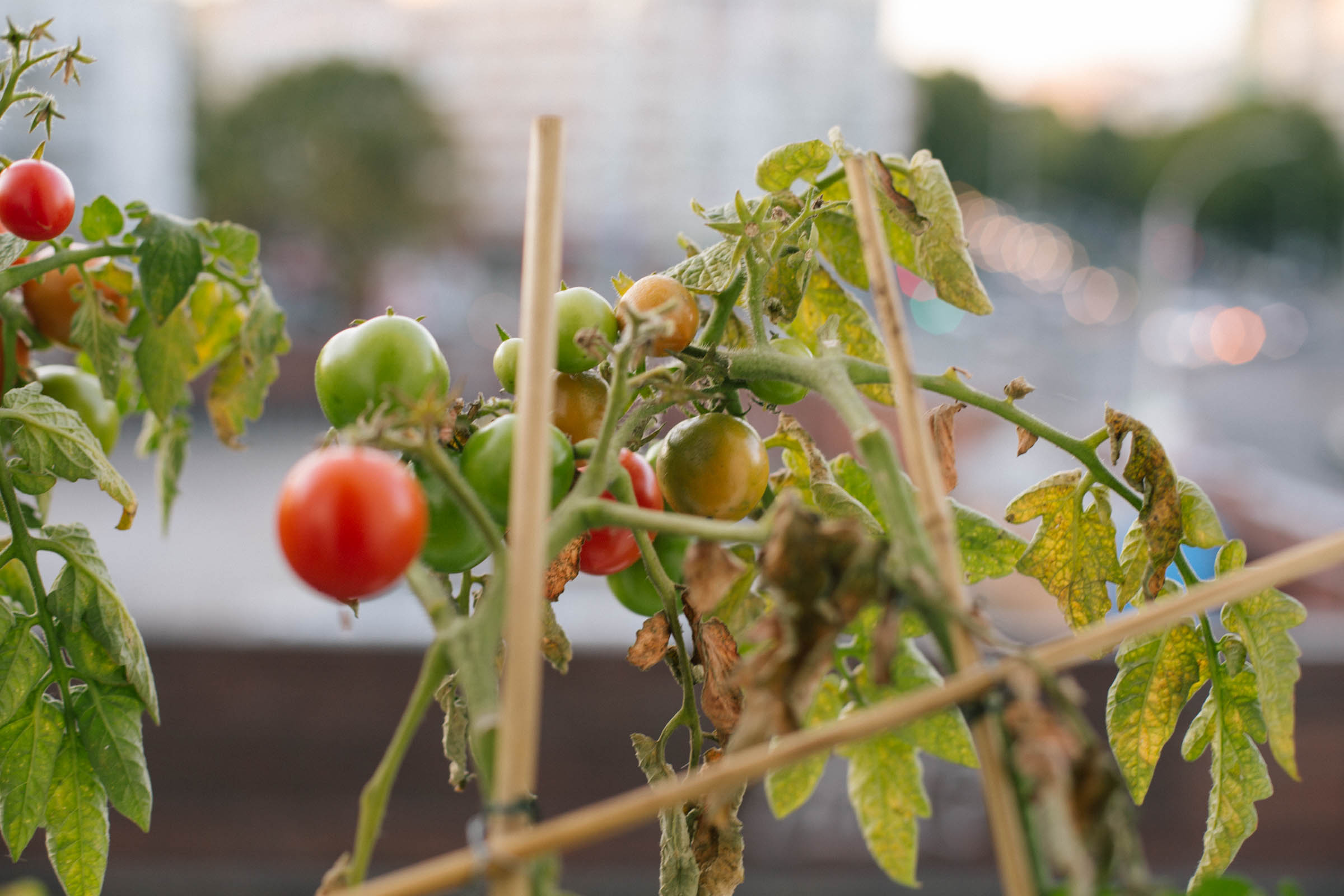 October 2015: The last tomatoes of the year.