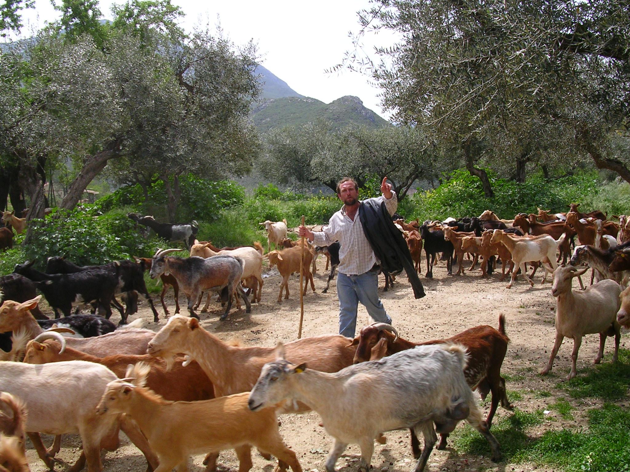 Onze Geitenherder Manolo met zijn kudde.JPG