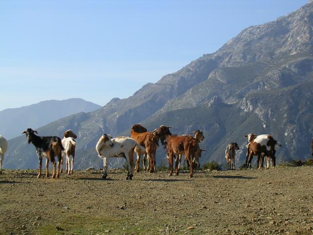 wilde geiten gezien op één van onze wandeltochten  bij Cerro Corona w-site.jpg