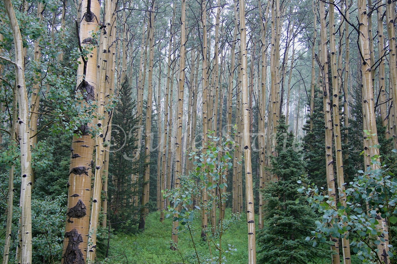 Aspen Forest After the Rain 2010