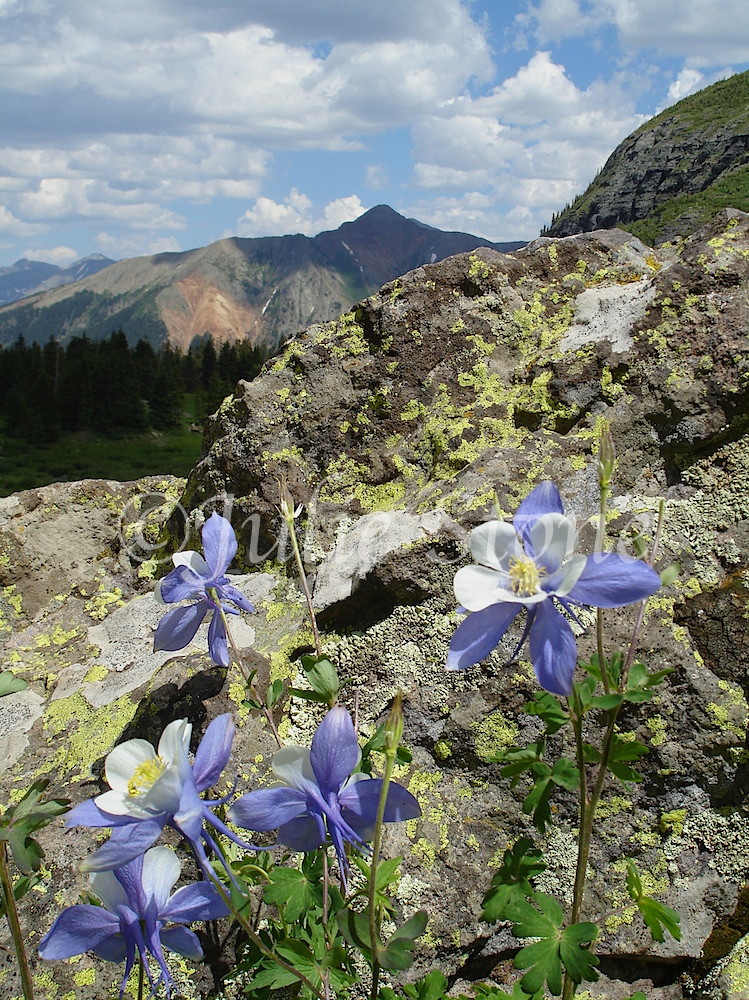 Columbines and Red Mountain 2010
