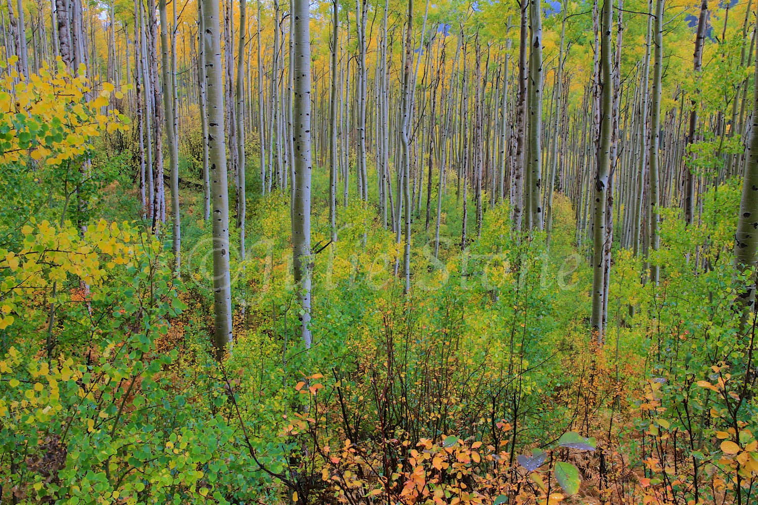 Aspen Forest after the Storm 2012