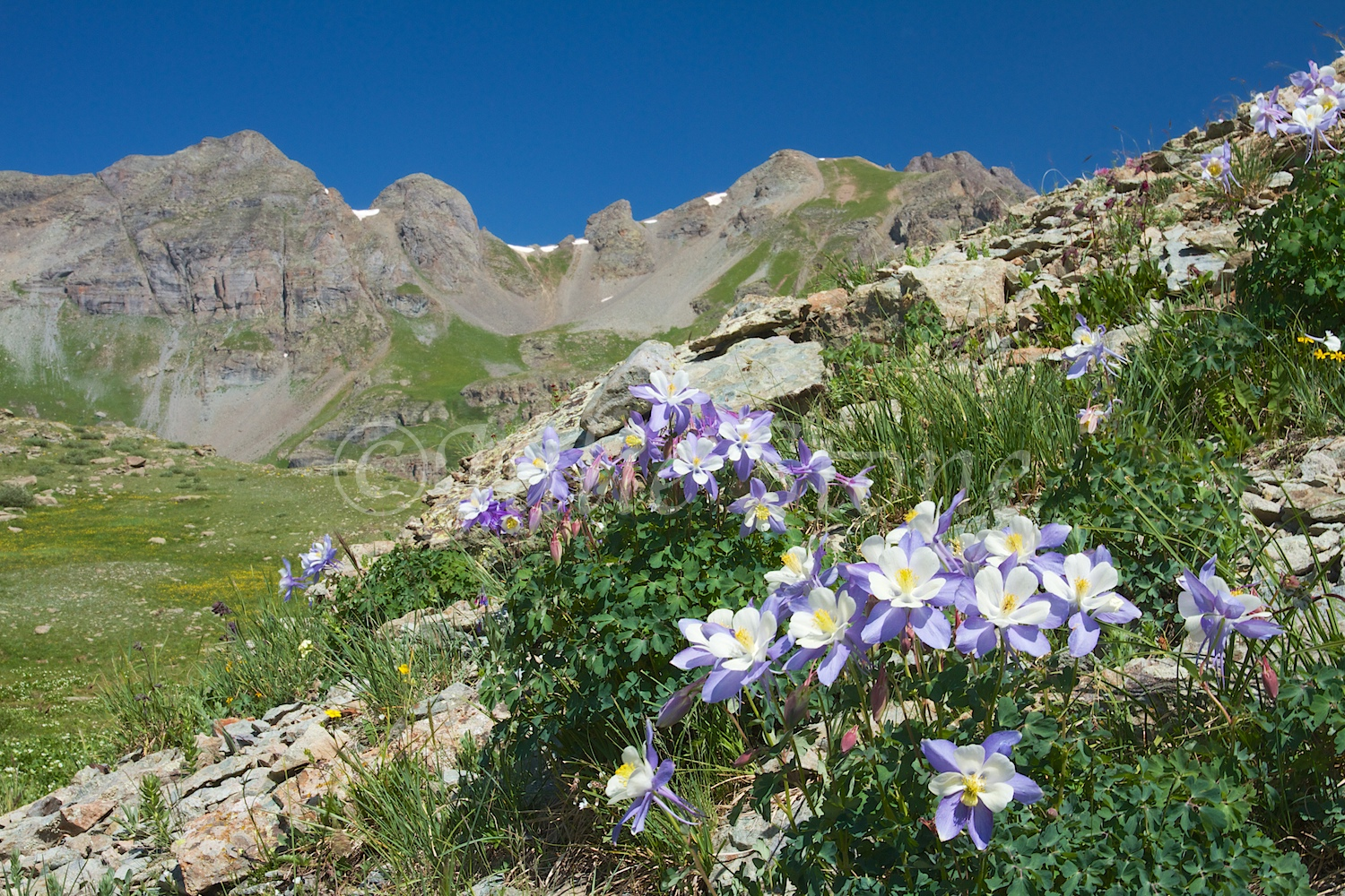 CLEAR LAKE COLUMBINES 2014 (3)