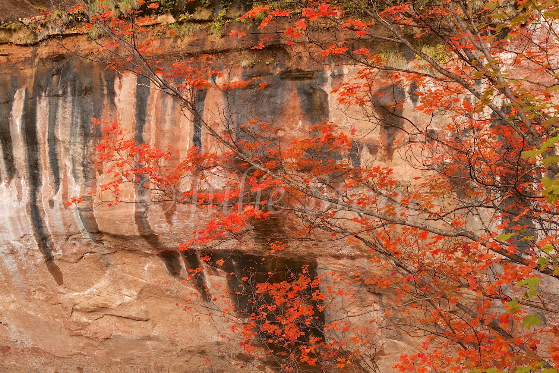 Zion Fall Colors near Emerald Pools Fall 2014 (2)