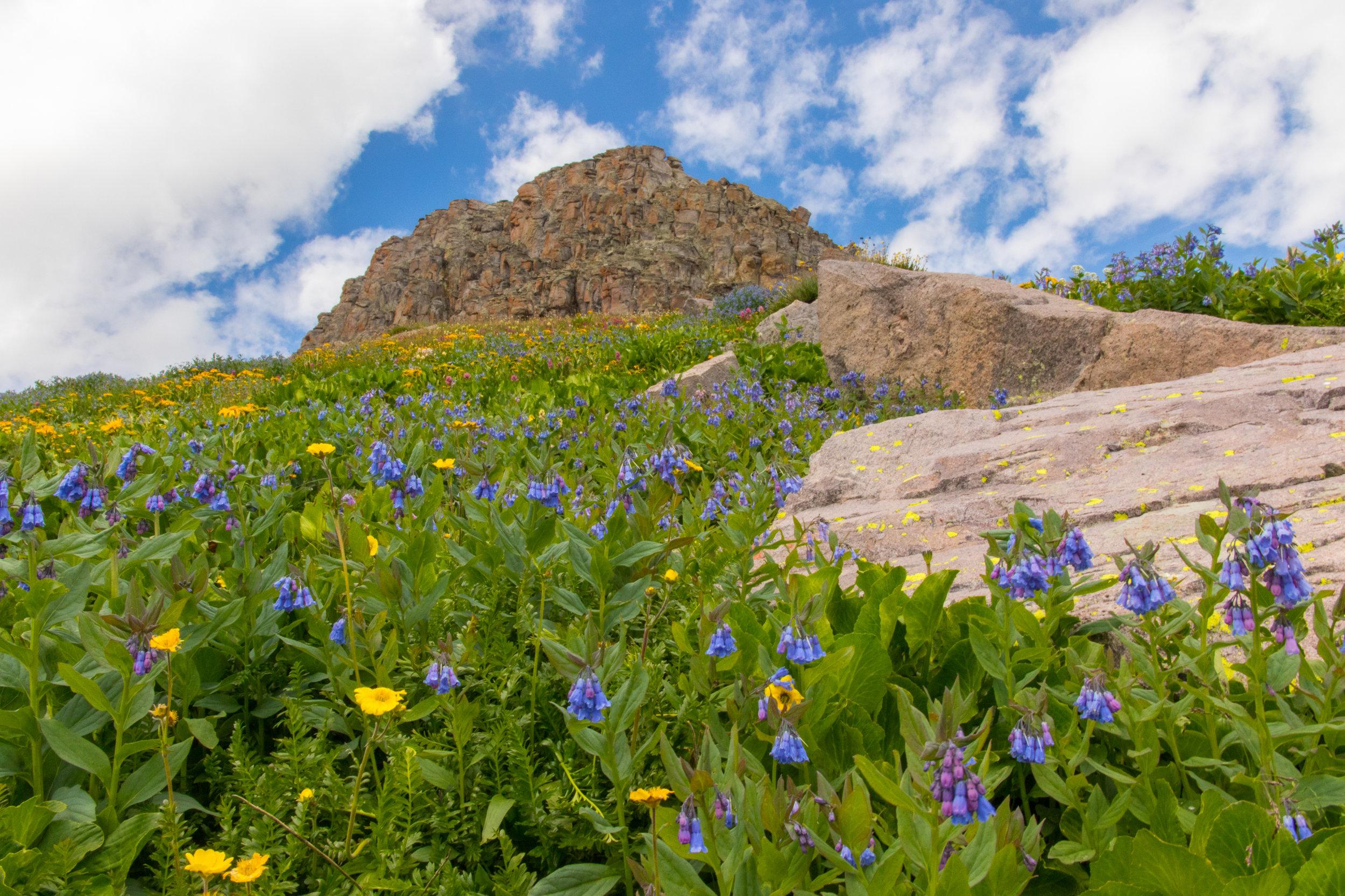 Colorado Bluebells along the route