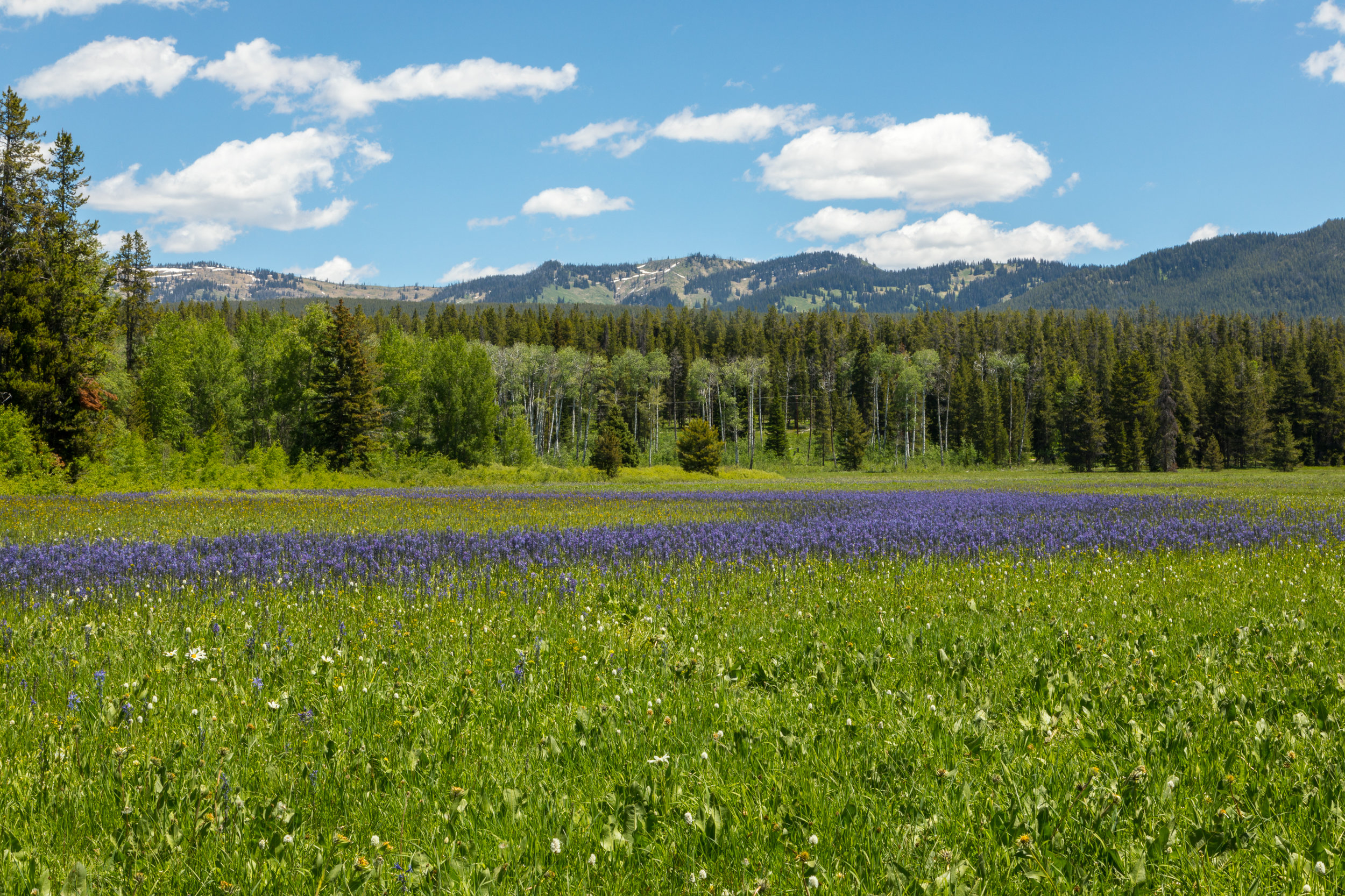 Wildflower Field in Grand Teton National Park, Image # 7856