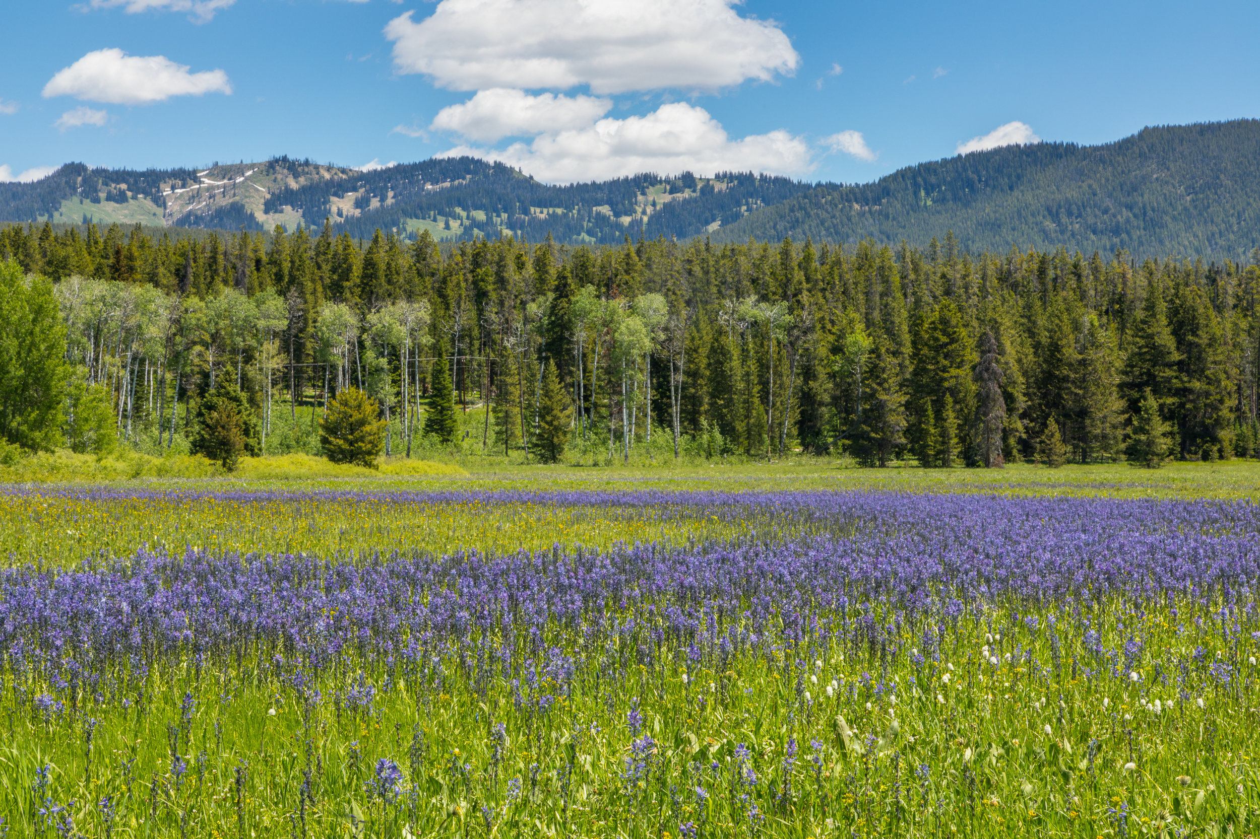 Wildflower Field in Grand Teton National Park, Image # 7872