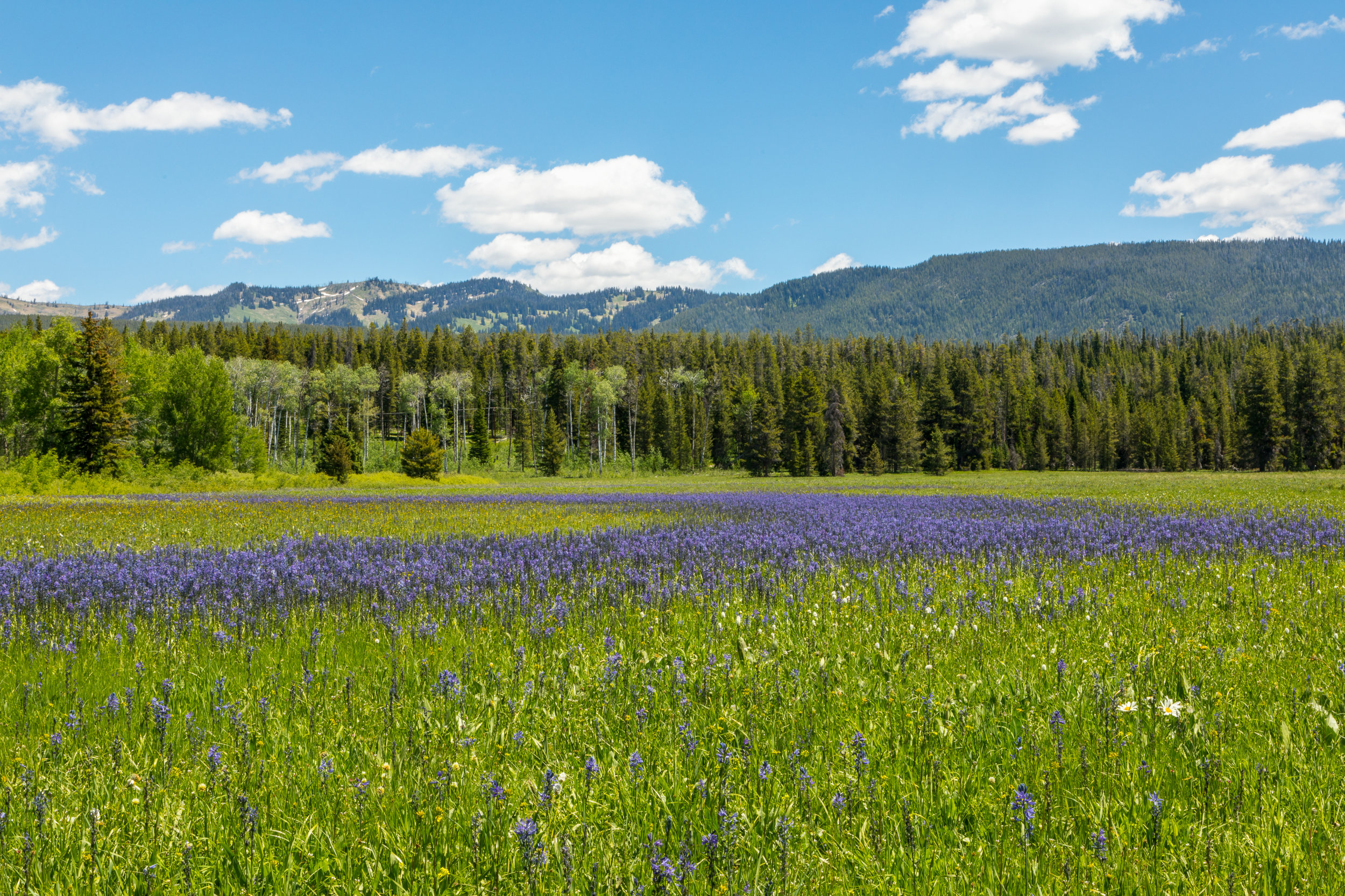 Wildflowe7872r Field in Grand Teton National Park, Image # 7861
