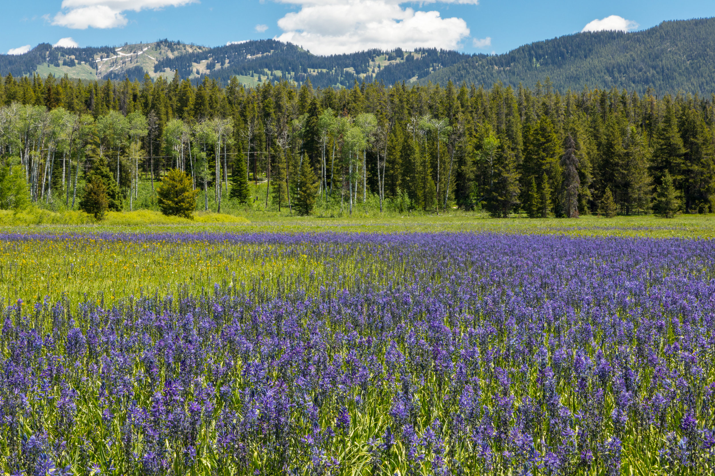 Wildflower Field in Grand Teton National Park, Image # 7935