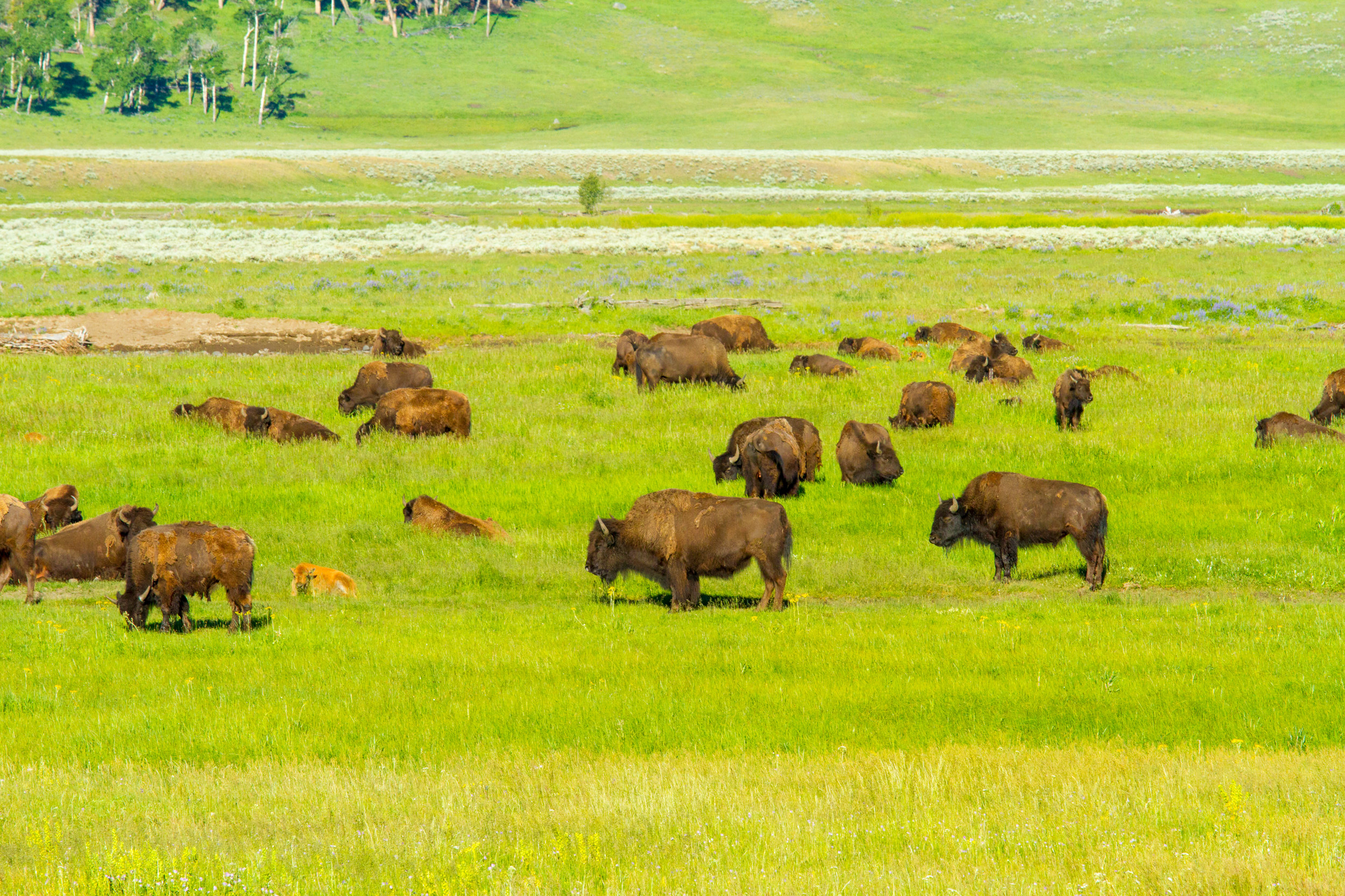 Lamar Valley, Yellowstone National Park, Image # 5117