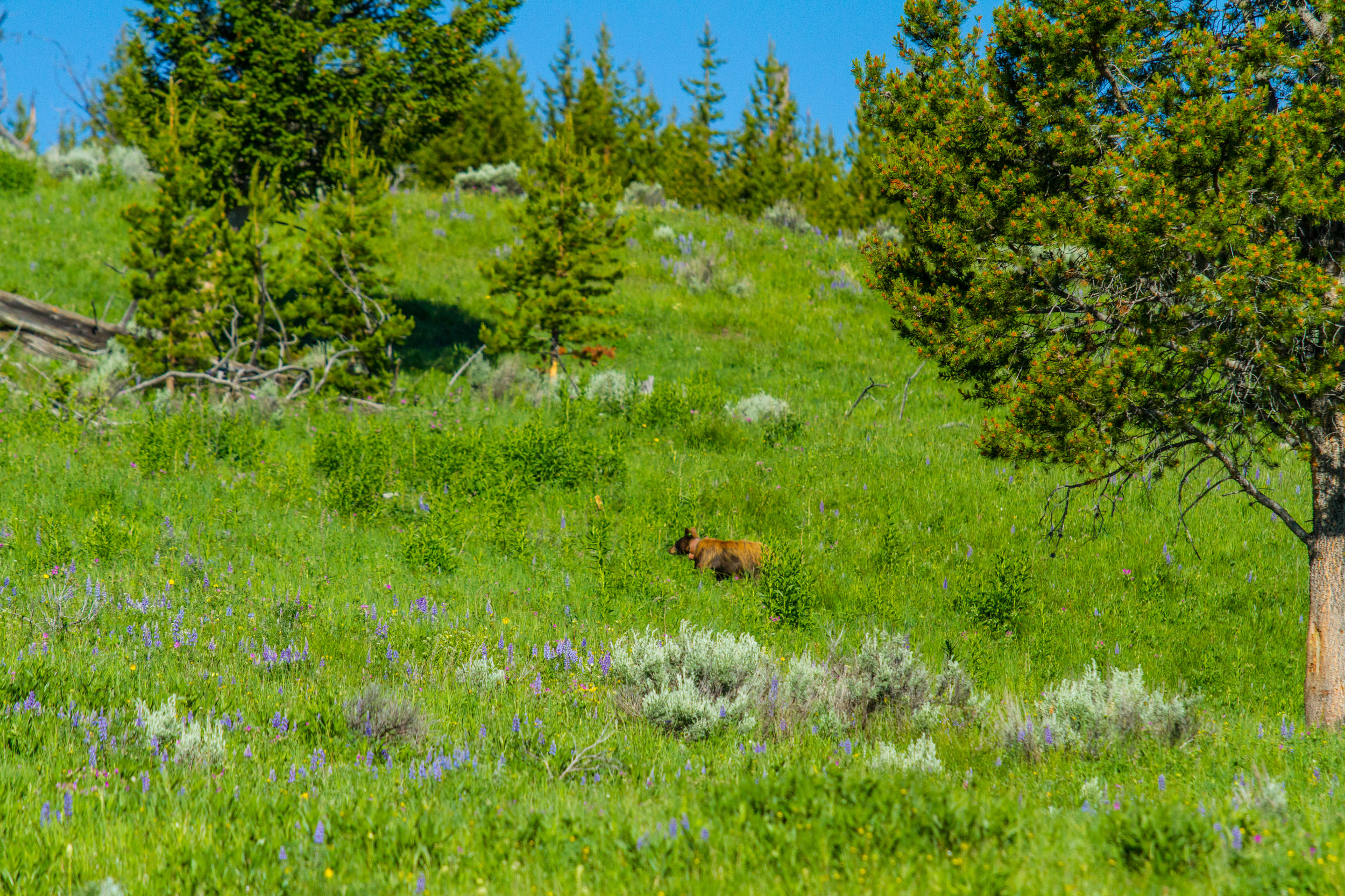 Lamar Valley, Yellowstone National Park, Image # 5135