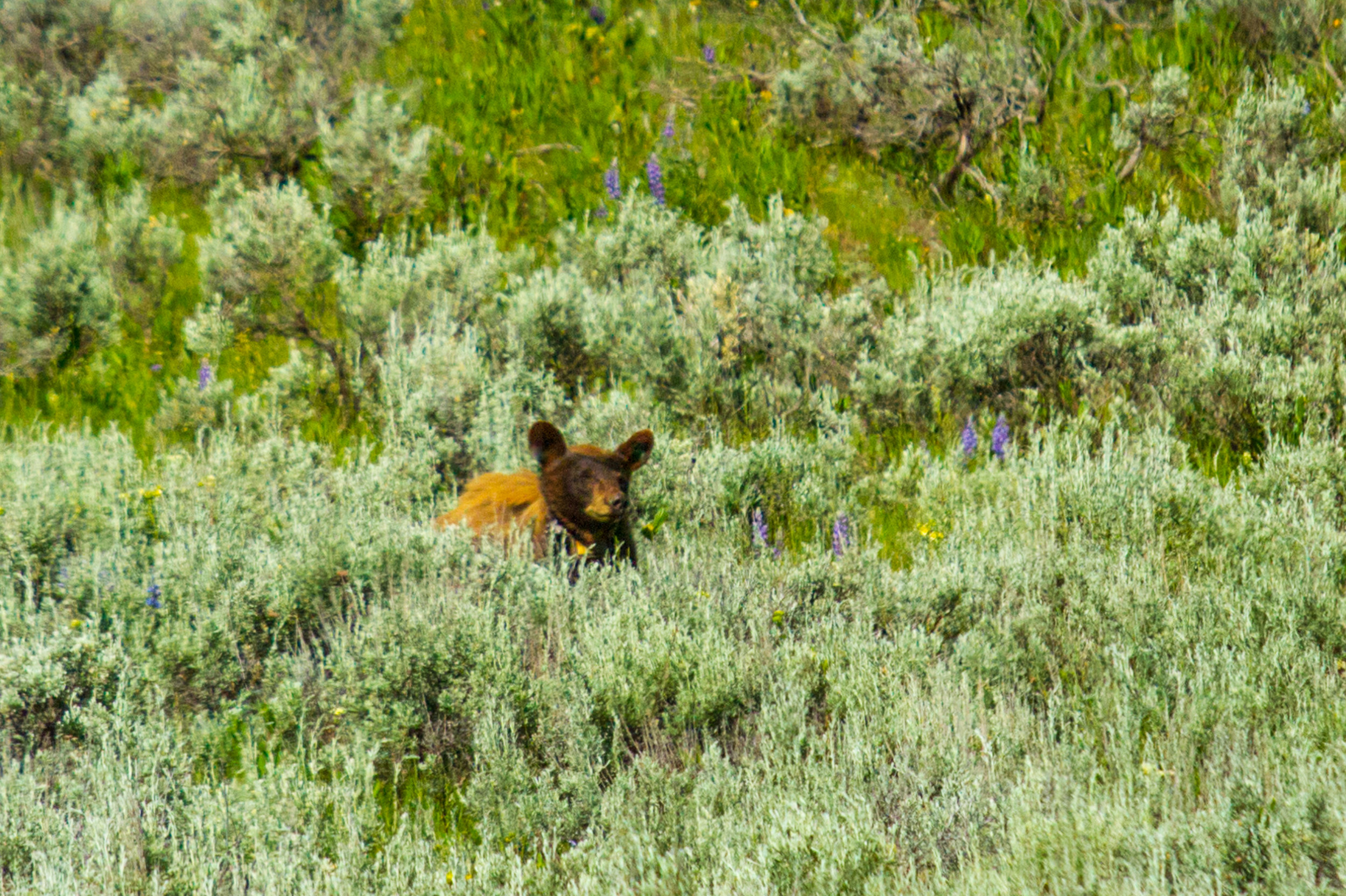 Lamar Valley, Yellowstone National Park, Image # 5161