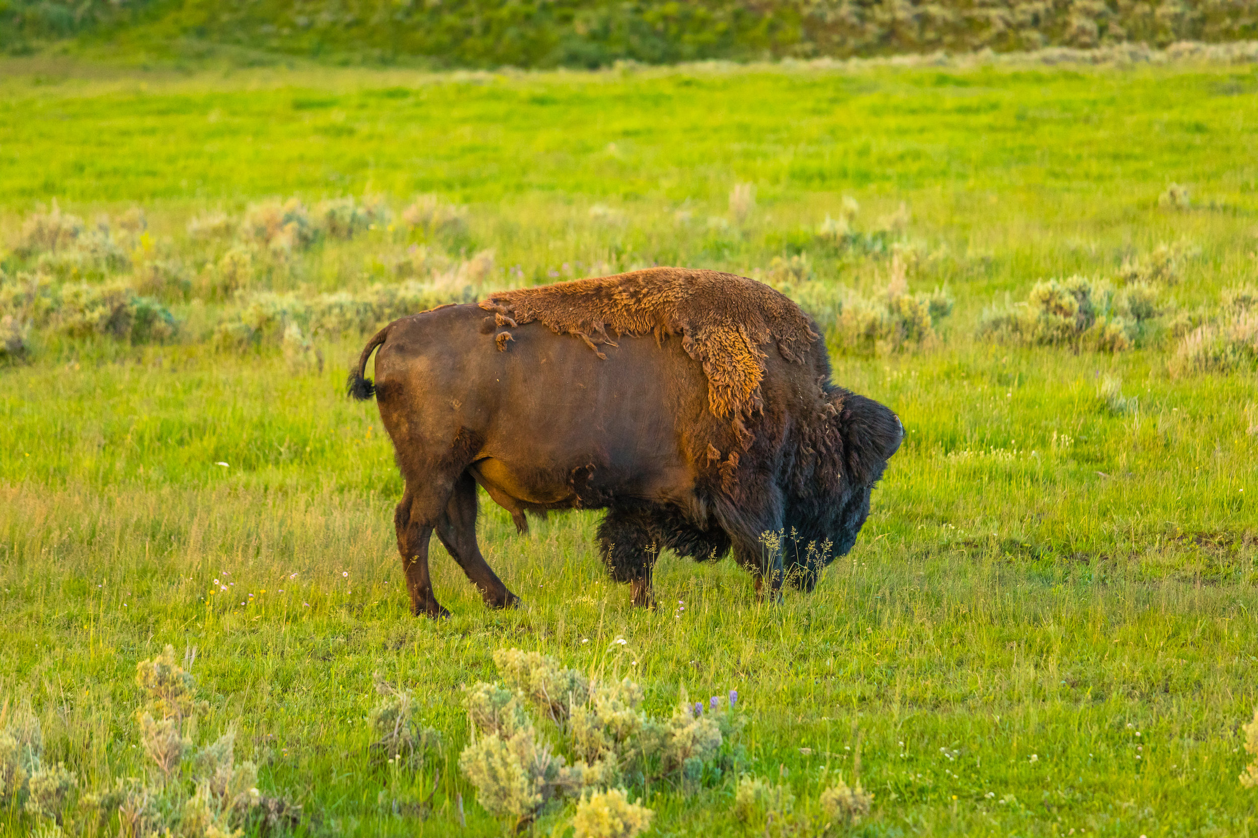 Lamar Valley, Yellowstone National Park, Image # 6042