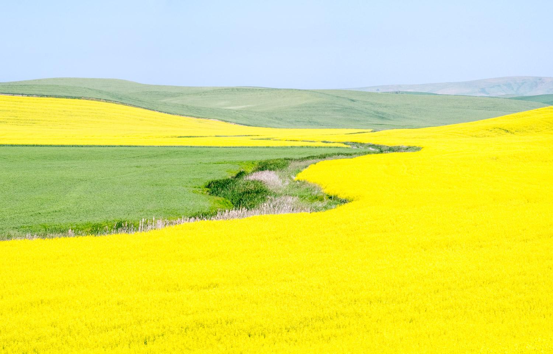 Acres of Yellow Canola
