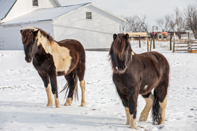 Snow Ponies   Purchase