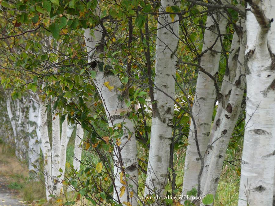best birches