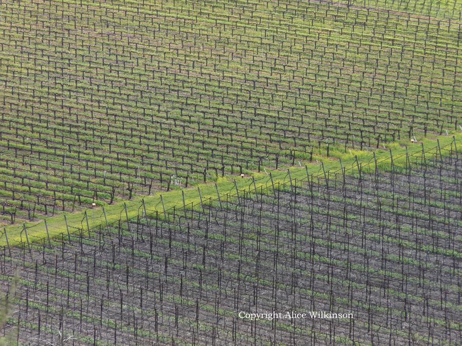 vineyard with green diagonal