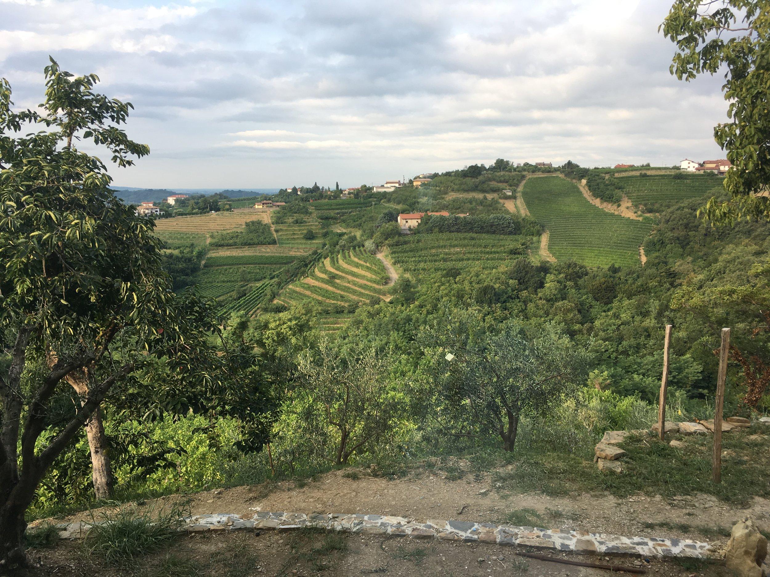 The terraced vineyards of  Brda .