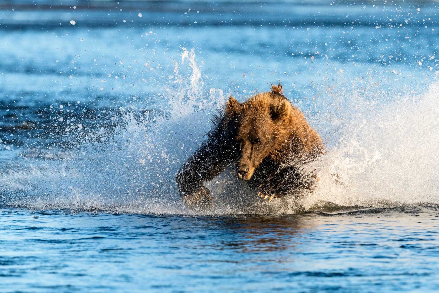 A grizzly bear launches himself at a darting salmon, Silver Salmon Creek; Nikon D810, 500mm, f/6.3, 1/2000s, ISO 800